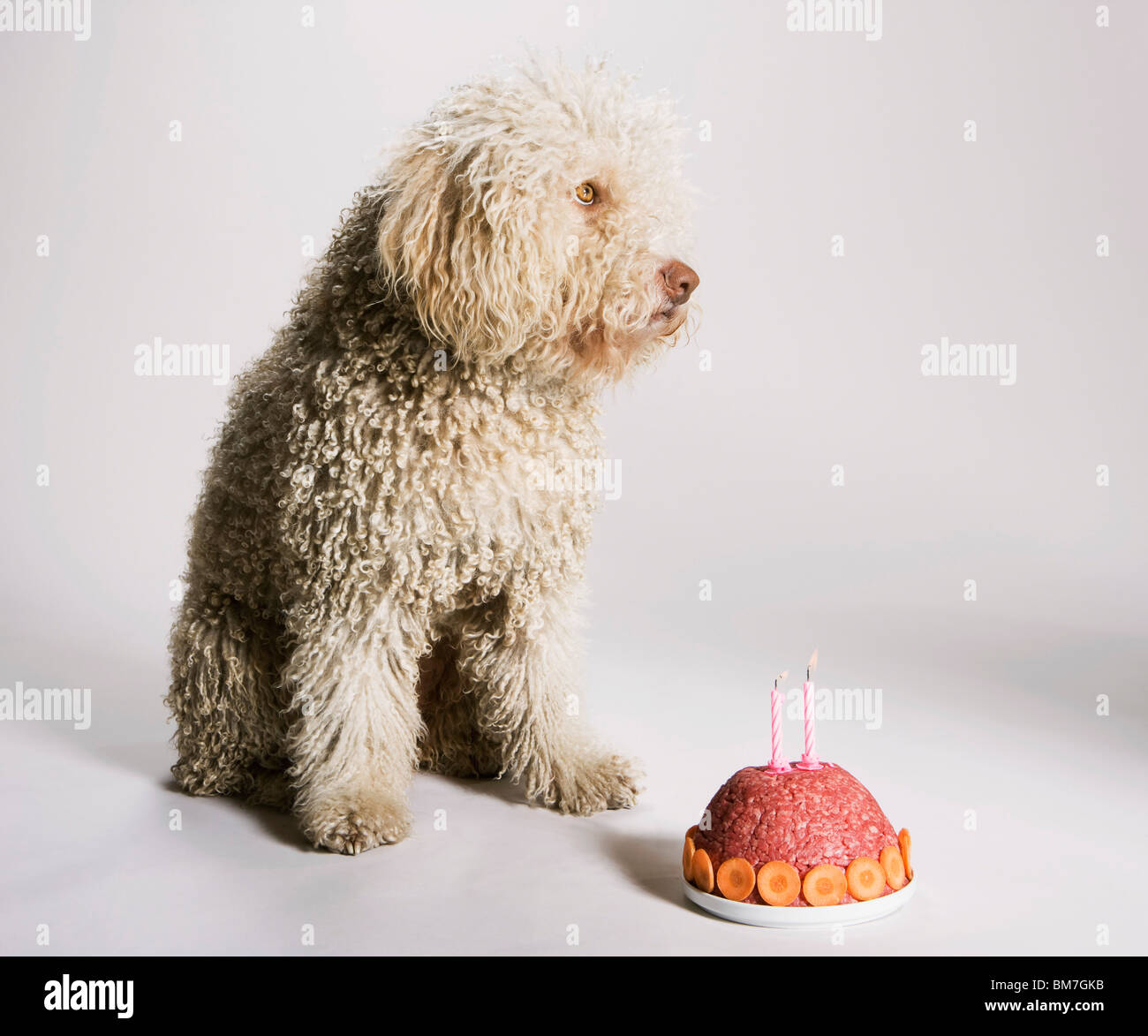 A Portuguese Waterdog sitting by a birthday cake of ground meat - Stock Image