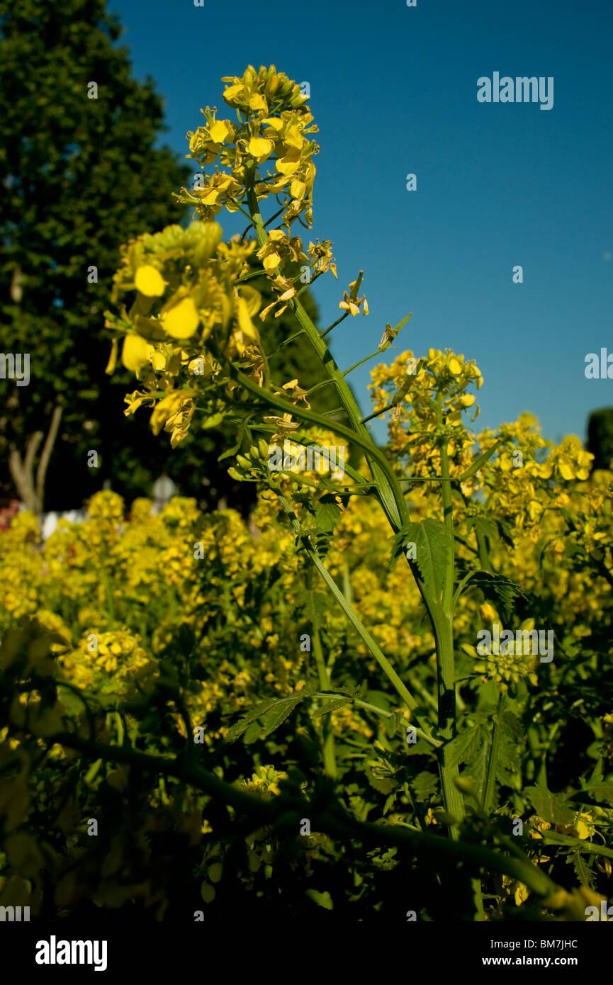 Mustard Plant Flowers in Field, Landscape - Stock Image