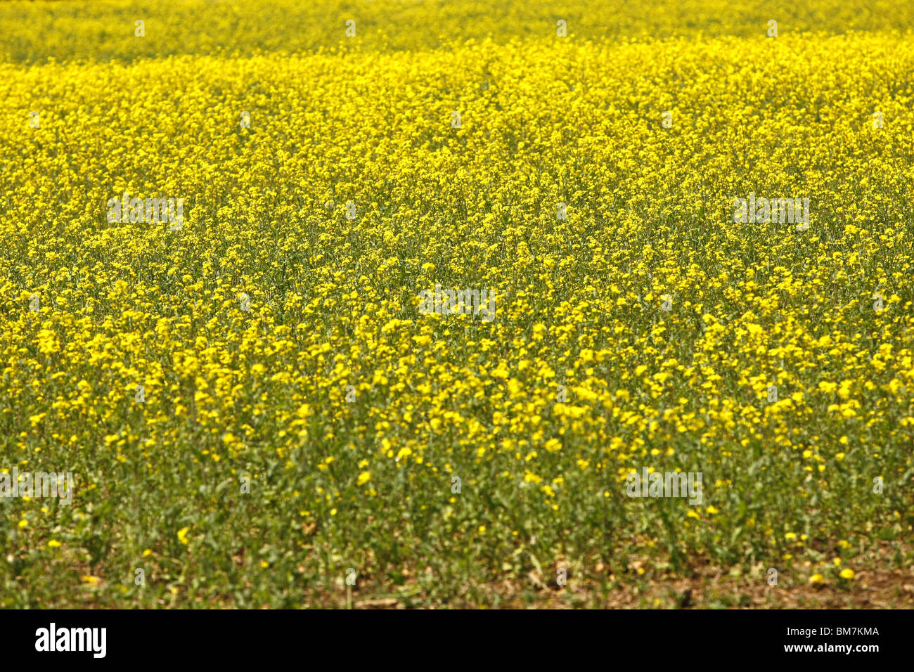 Rapeseed flowers crop stock photos rapeseed flowers crop stock the yellow flowers of the rapeseed plant cultivated by farmers as a cash crop for its mightylinksfo