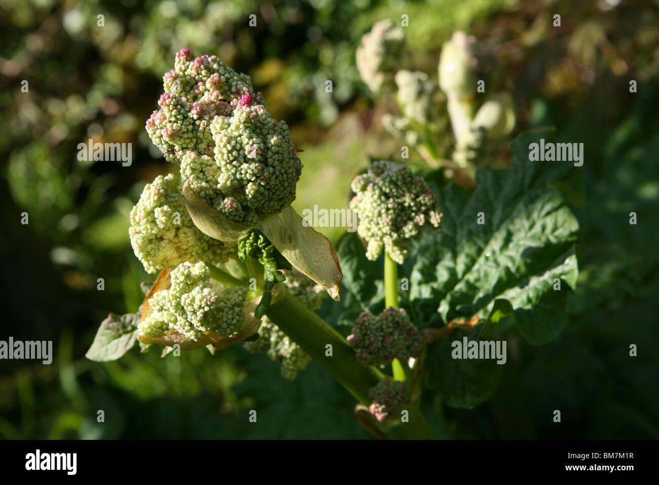 Rheum rhabarbarum or Rheum x hybridum - Rhubarb flower - Stock Image