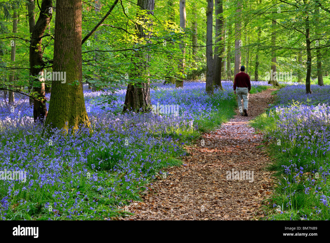 Surrounded by a carpet of English Bluebells on the trail between Soudley and Blakeney in the Forest of Dean, Gloucestershire, UK Stock Photo