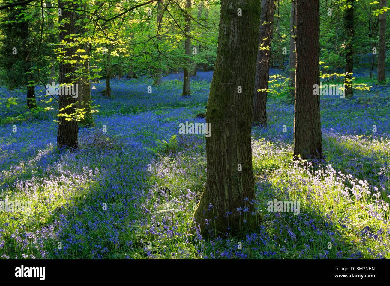 Classic carpet of English Bluebells on the trail between Soudley and Blakeney in the Forest of Dean, Gloucestershire, UK Stock Photo