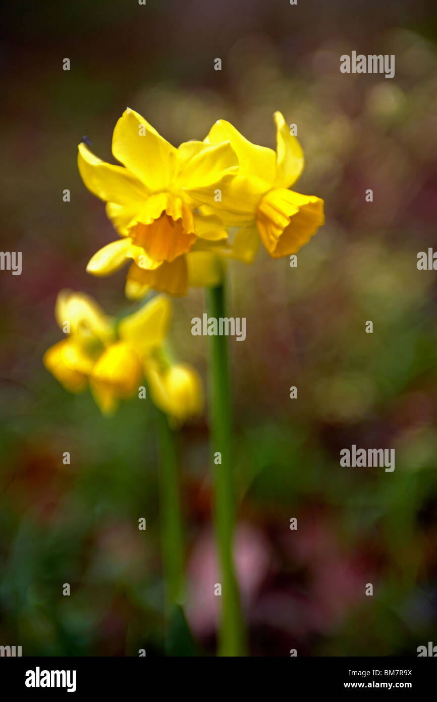 A clump of Spring Daffodils at Trevarno gardens Cornwall UK - Stock Image