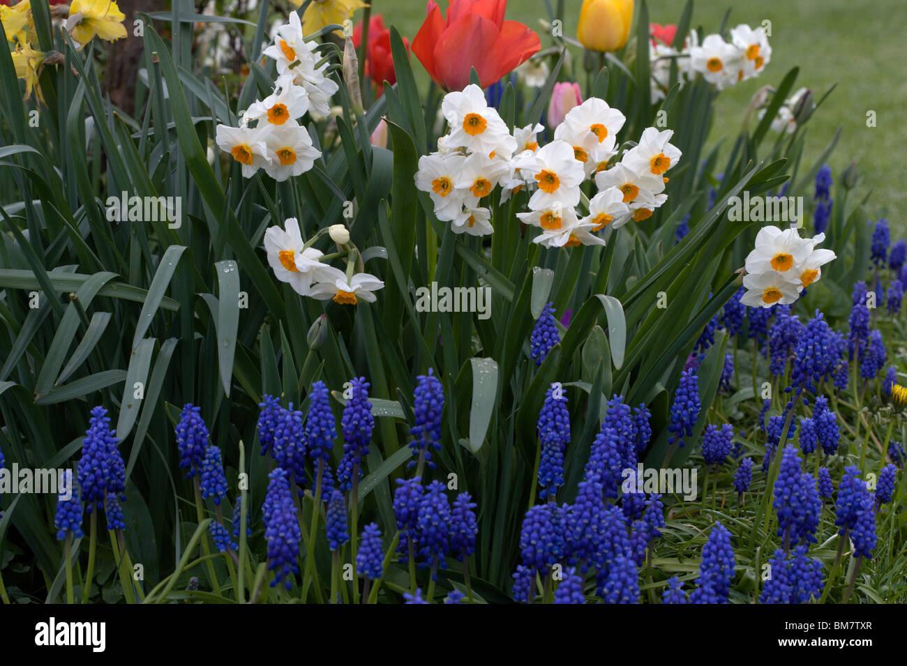 Grape Hyacinth Muscari  with daffodils and tulips Stock Photo