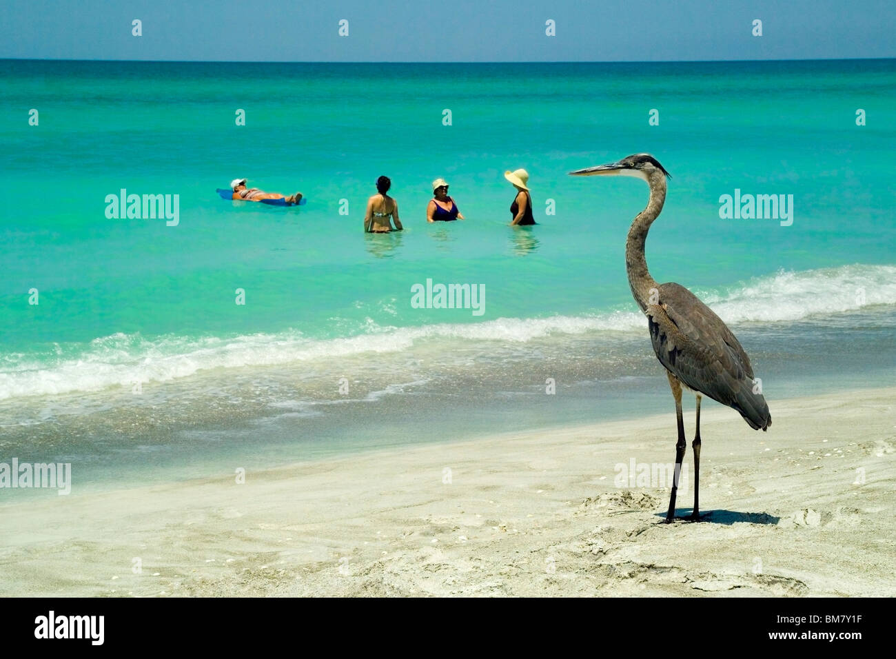 A Great Blue Heron eyes vacationers enjoying the warm waters of the Gulf of Mexico along Longboat Key at Sarasota - Stock Image