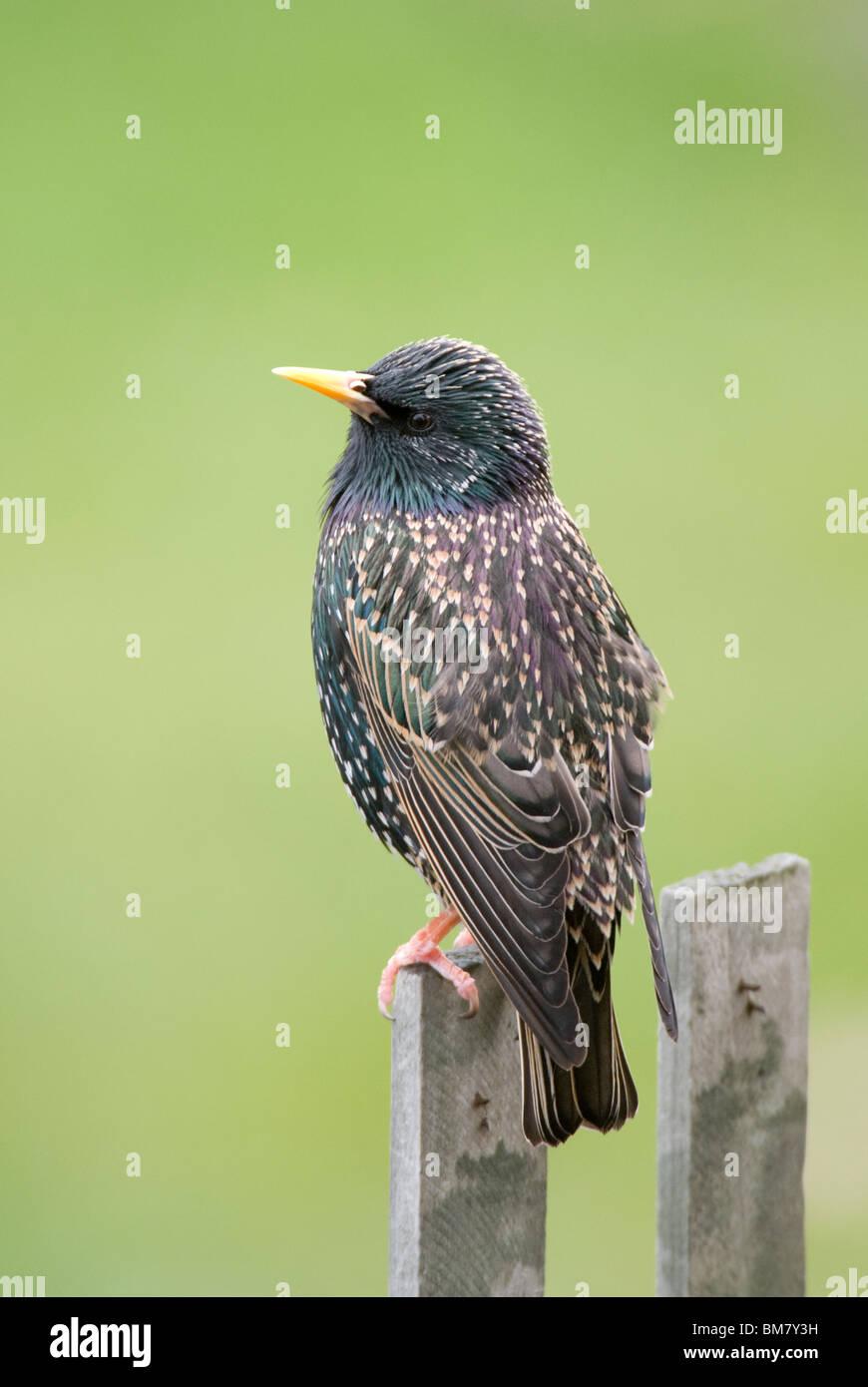 Starling Sturnus vulgaris sitting on a fence post New Zealand - Stock Image