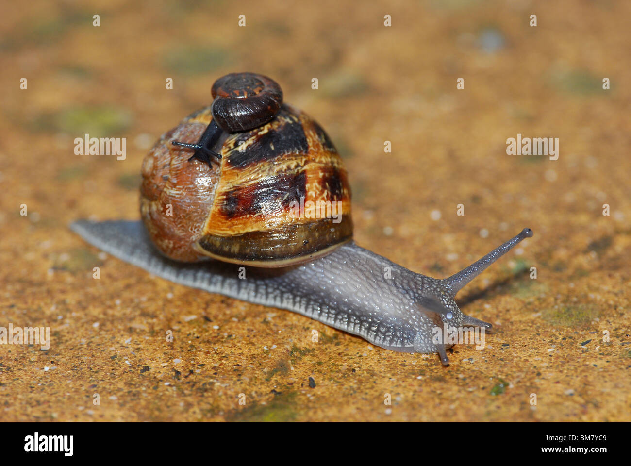 Baby Garden Snail Stock Photos & Baby Garden Snail Stock Images - Alamy