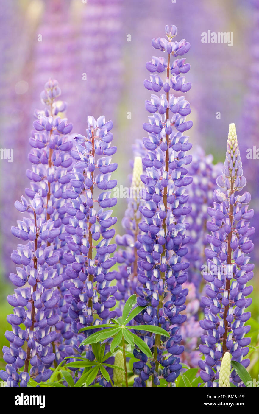 Lupin Lupinus polyphyllus or Russell Lupin, New Zealand Stock Photo