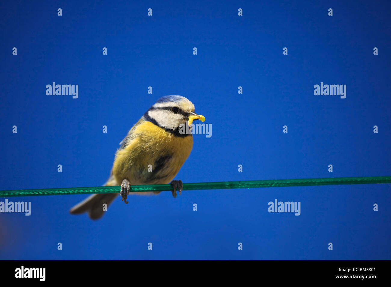 Blue Tit, Cyaniste Caeruleus, on a washing line with grubs for feeding young chicks Stock Photo