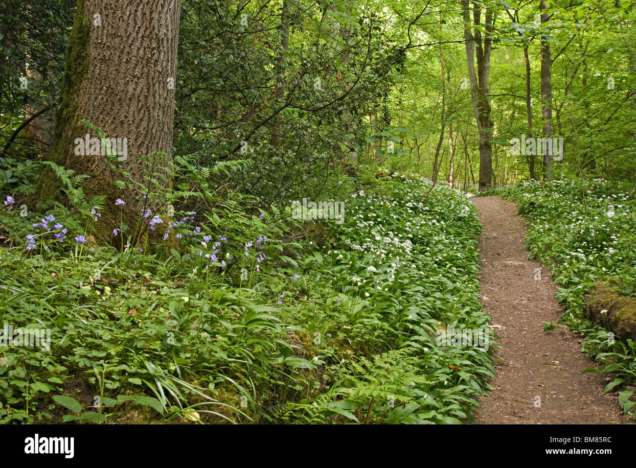 Footpath through ancient woodland at Richmond, North Yorkshire. Most of the flowers are Ramsons, also known as Wild - Stock Image