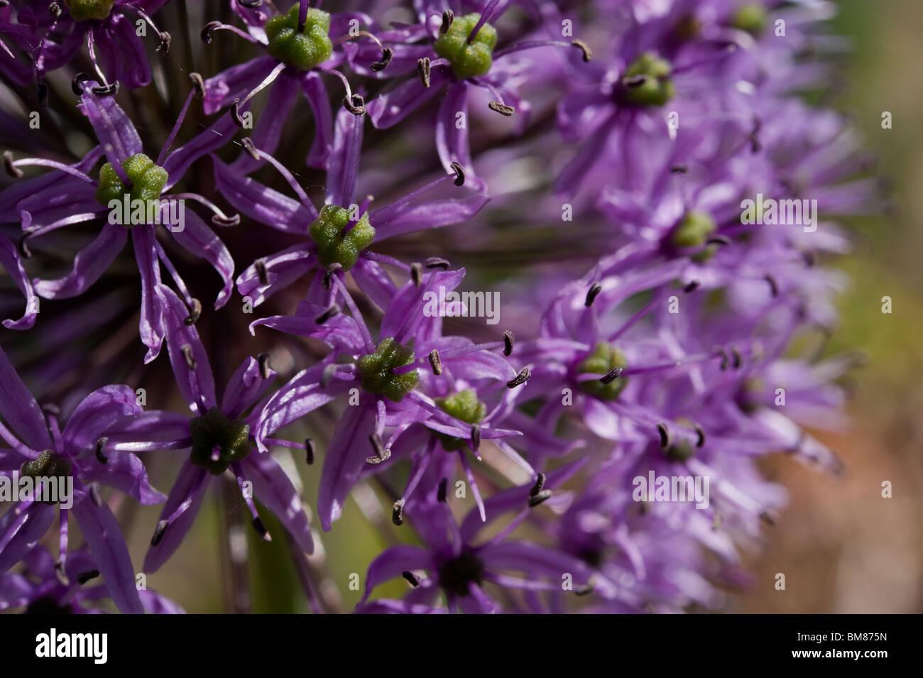 Detail of a purple ornamental allium (a member of the onion family), Allium cristophii. Stock Photo