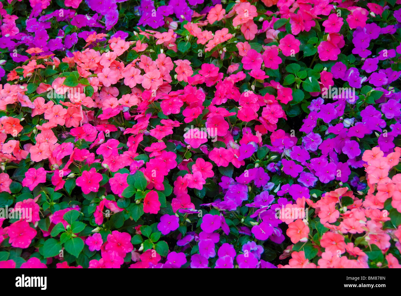 Impatiens flowers in sidewalk planters on Las Olas Boulevard in city center of Fort Lauderdale, Florida, USA - Stock Image