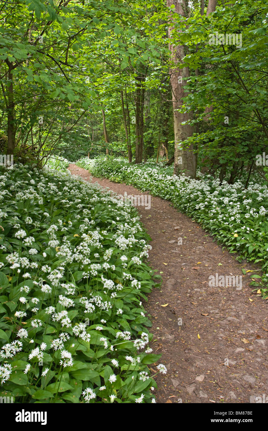 Footpath through ancient woodland at Richmond, North Yorkshire. The flowers are Ramsons also known as Wild Garlic. - Stock Image