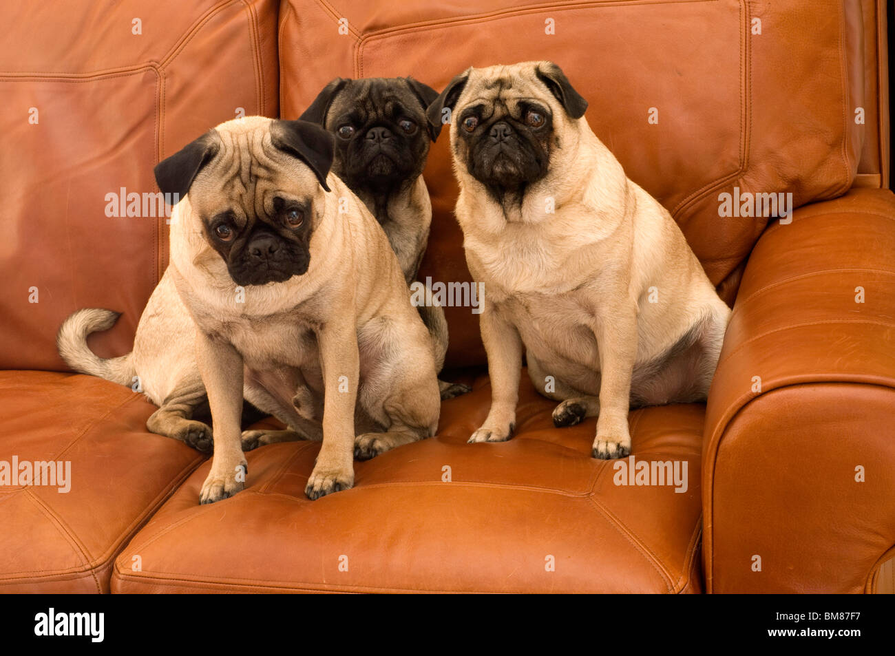 Three Cute Pugs on Leather Couch - Stock Image