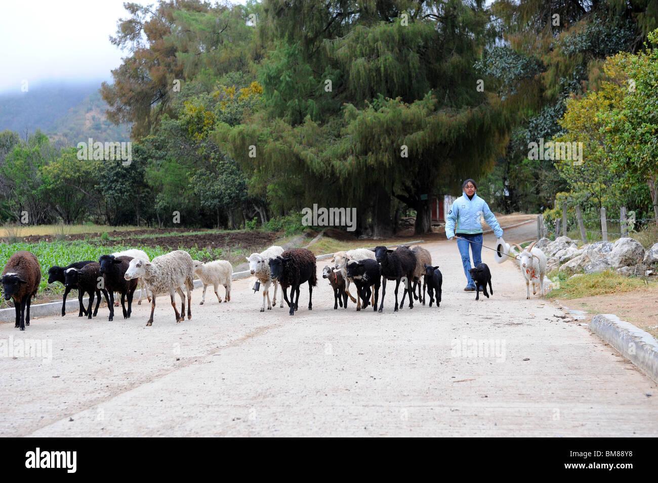 Sheep walking along country road in Santiago Apoala, Mexico - Stock Image