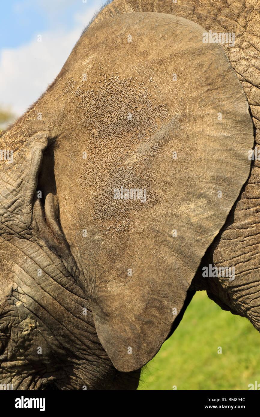 Elephant Ear Close Up Detail Of Skin Texture Loxodonta Africana