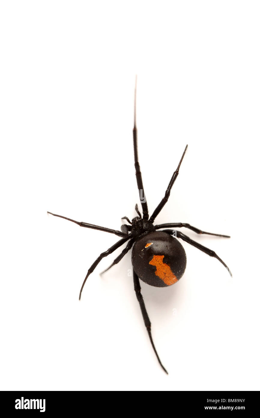Female Australian Redback Spider - Stock Image