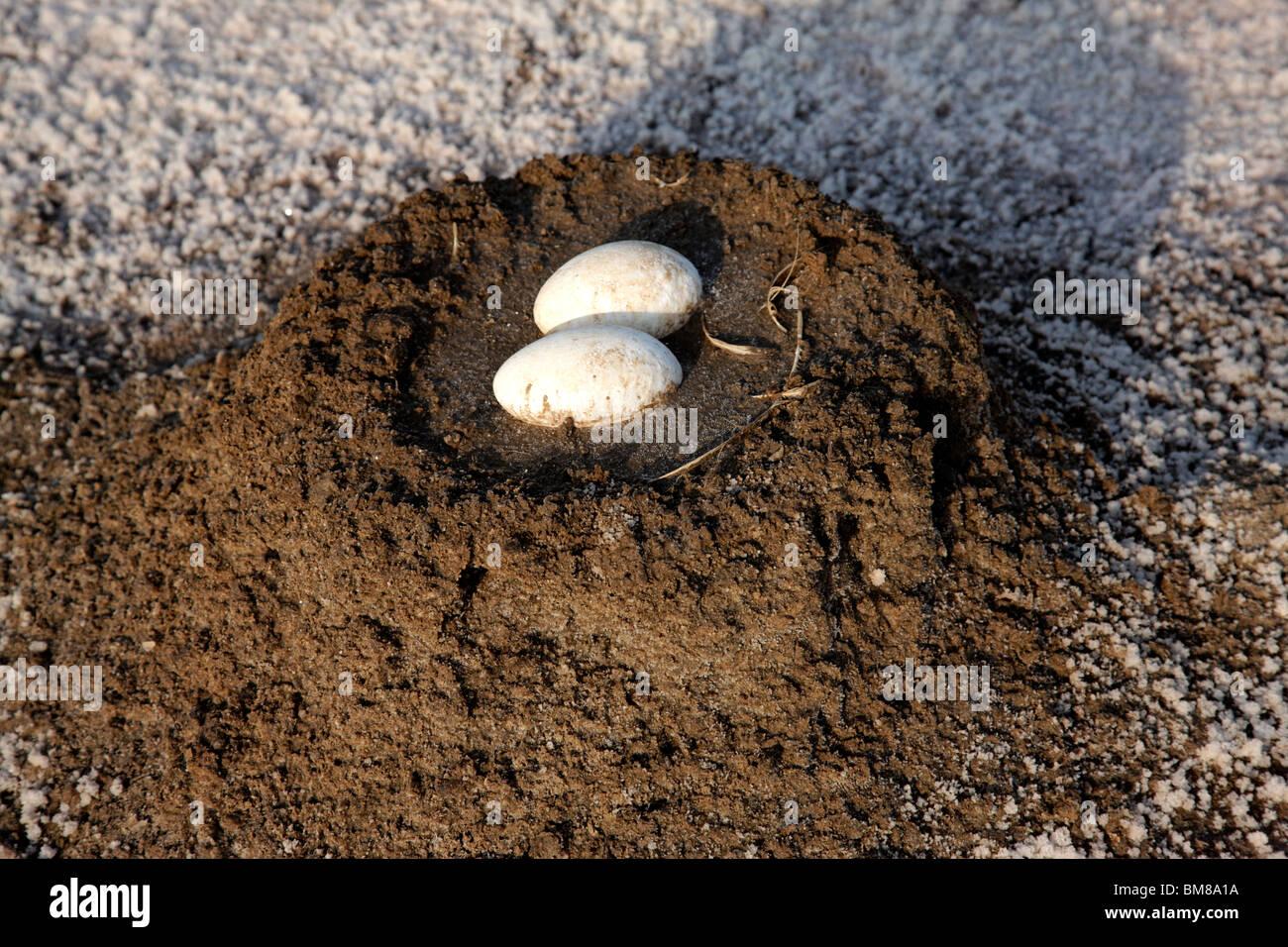 Flamingo's eggs - Stock Image