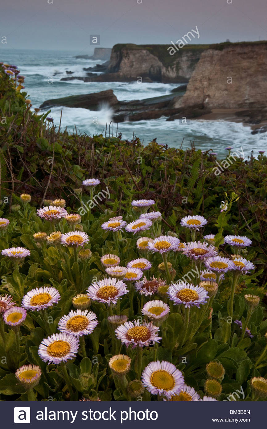 Beautiful flowers on the cliffs at Panther beach on the Californian coast, USA. Stock Photo