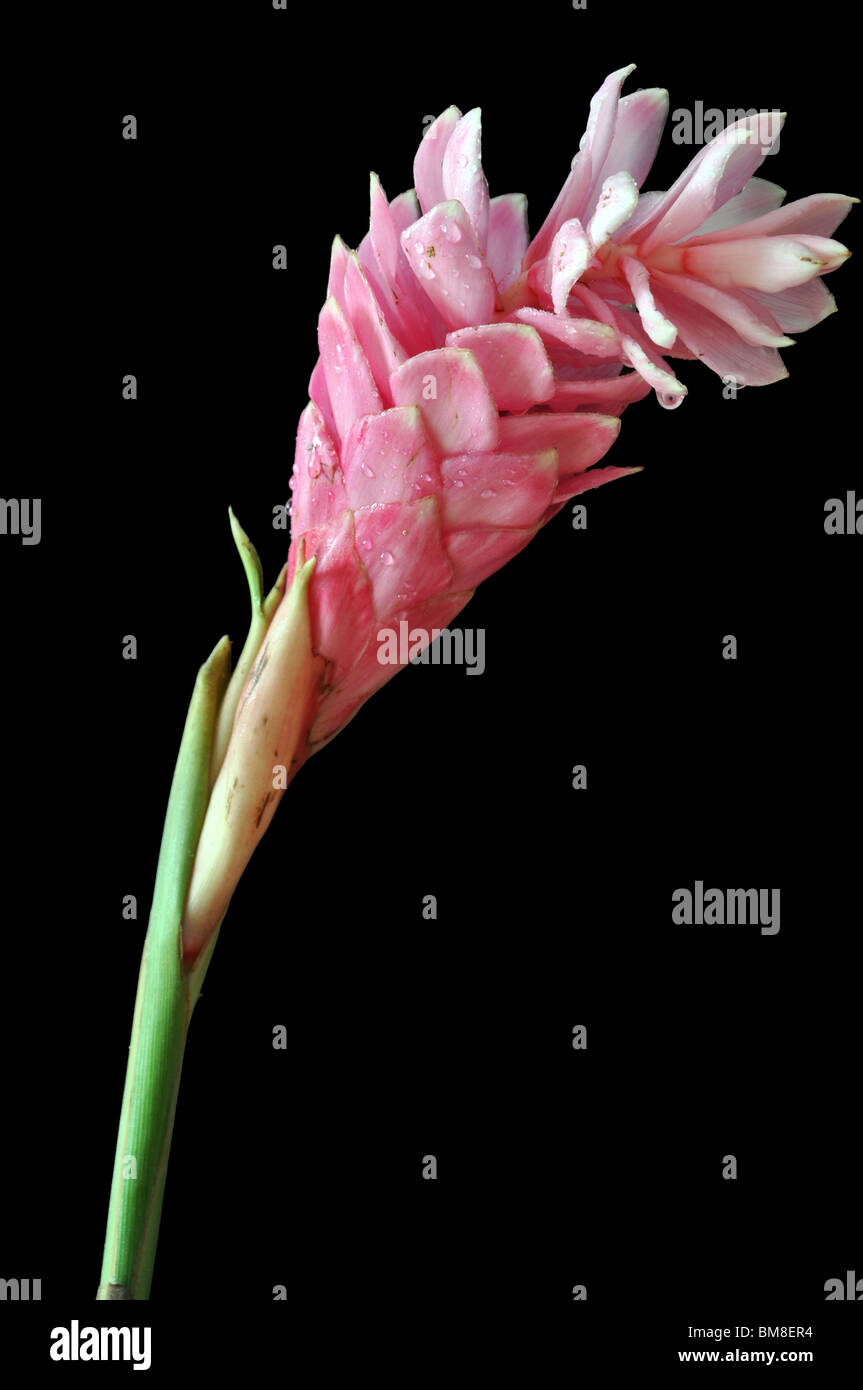 Pink ginger flower stock photos pink ginger flower stock images pink ginger flower isolated on black background stock image mightylinksfo