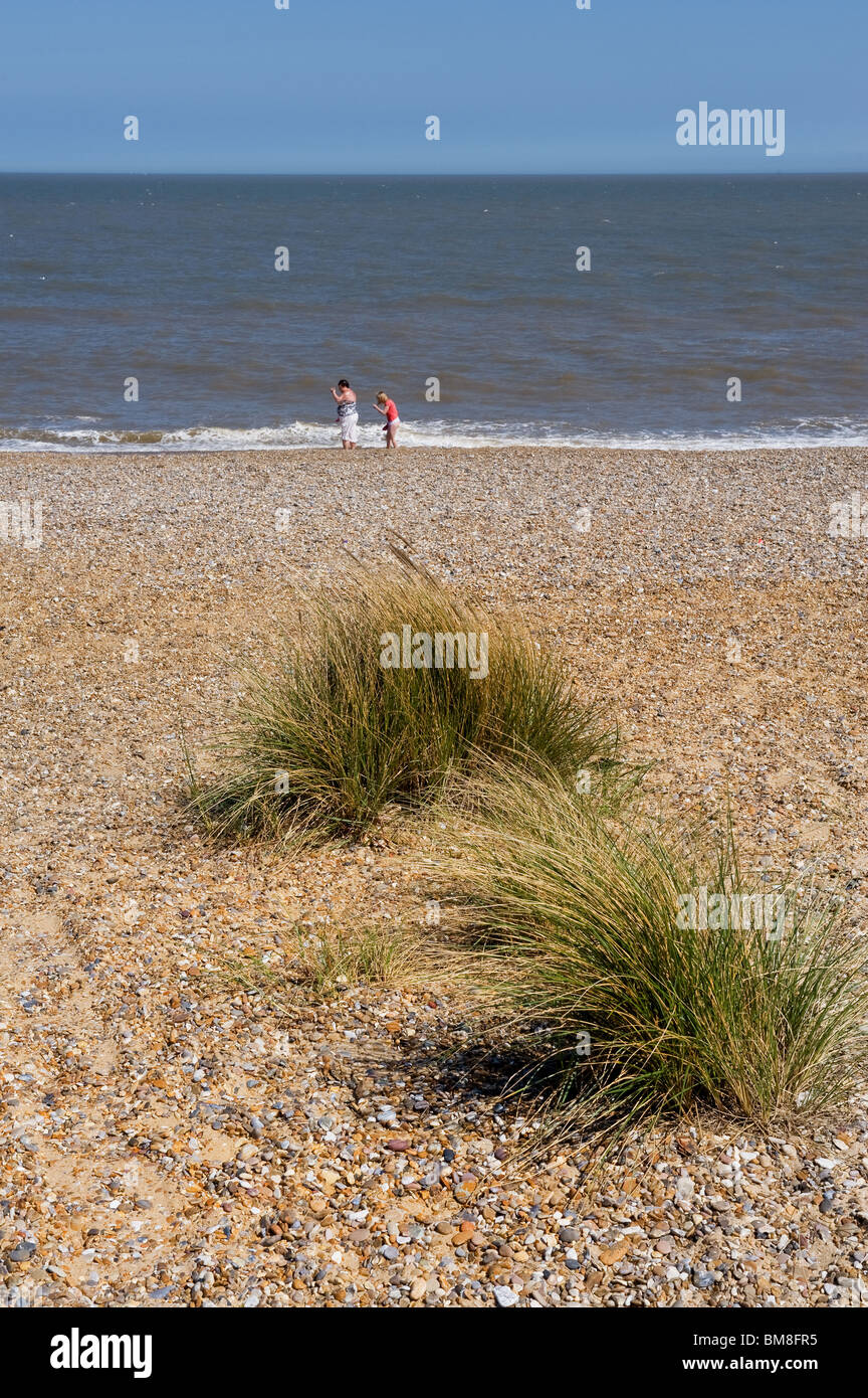 Clumps of Marram Grass growing on the shingle at Sizewell Beach in Suffolk.  Photo by Gordon Scammell - Stock Image