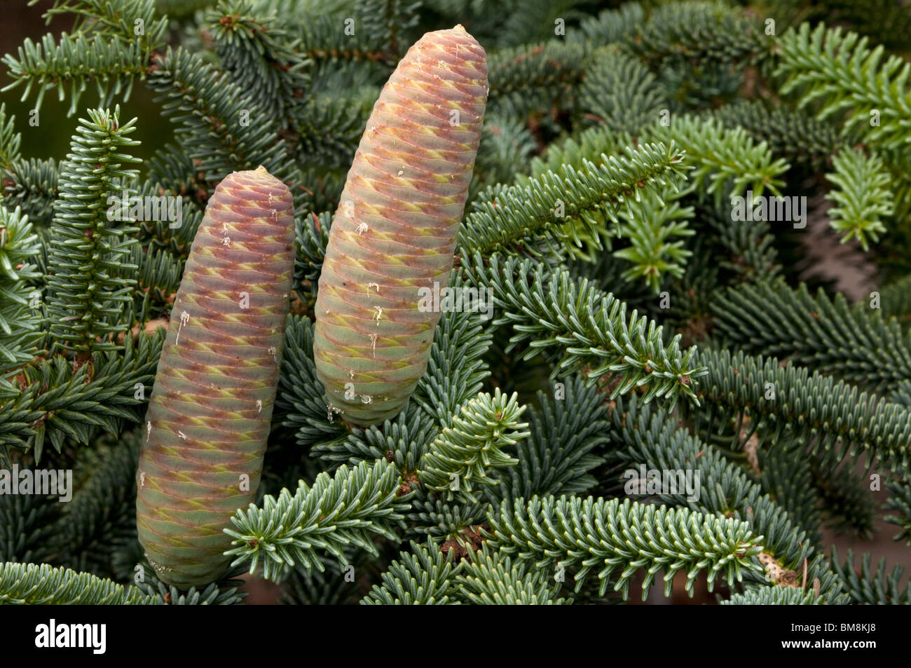 Spanish Fir Abies Pinsapo Twig With Cones Stock Photo 29694512