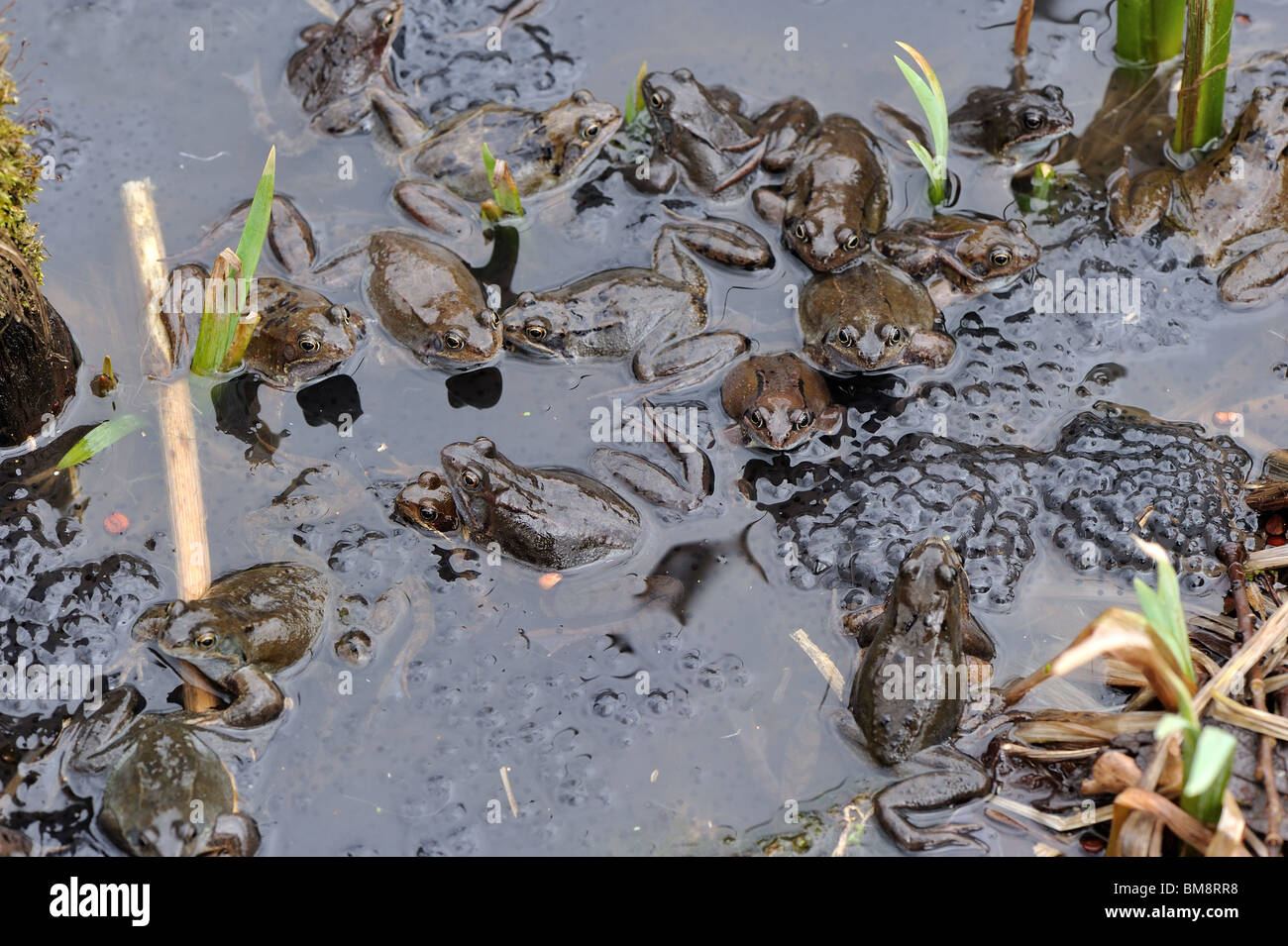 Group of European frogs (Rana temporaria) mating between the eggs in the water at spring Stock Photo
