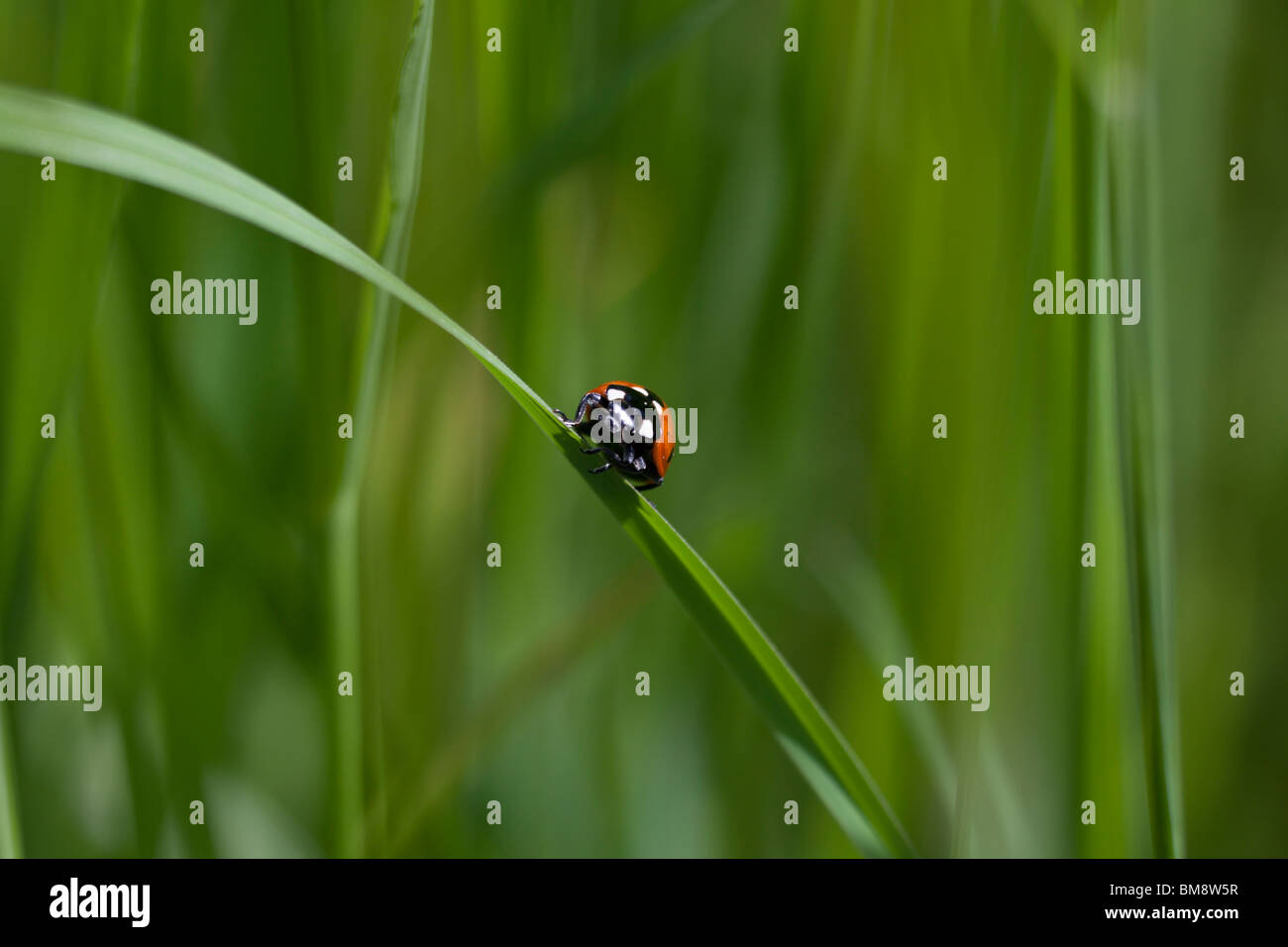 a ladybug on a blade of grass - Stock Image