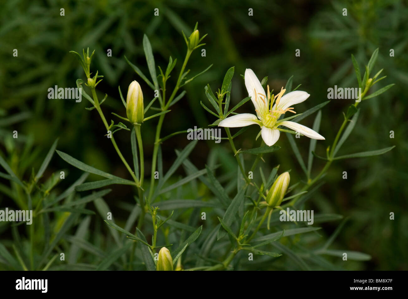 Syrian Rue Stock Photos & Syrian Rue Stock Images - Alamy
