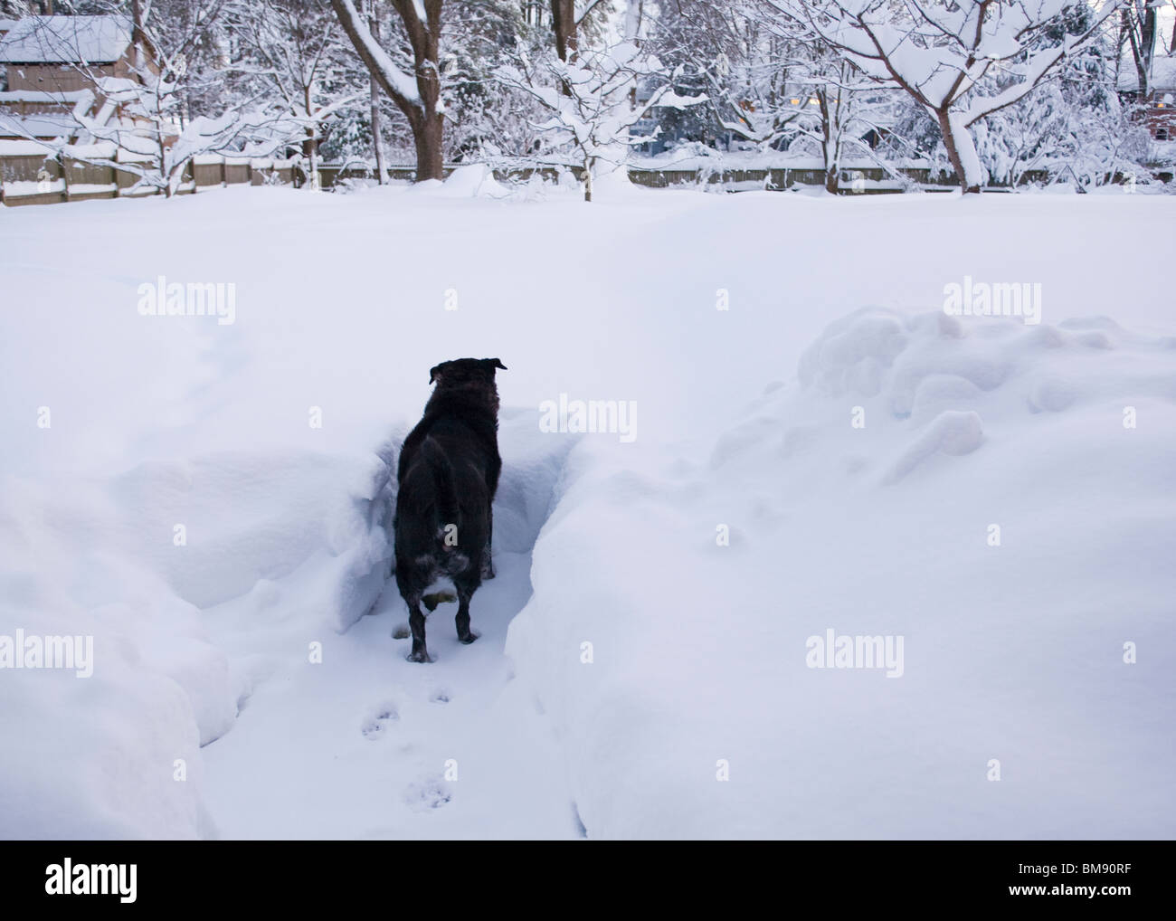 Black dog trapped in snow - Stock Image