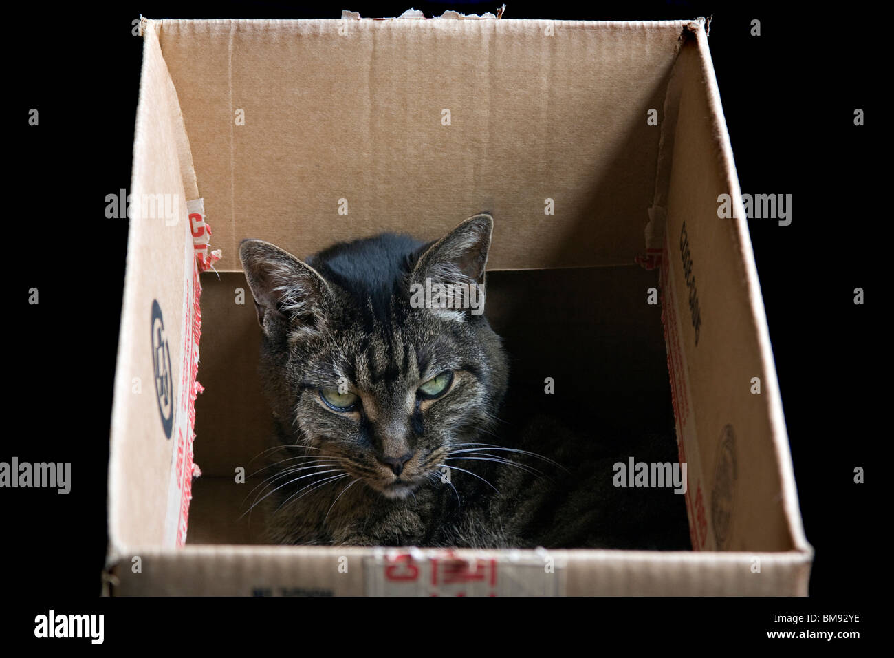 American Shorthair Cat in cardboard box. Stock Photo