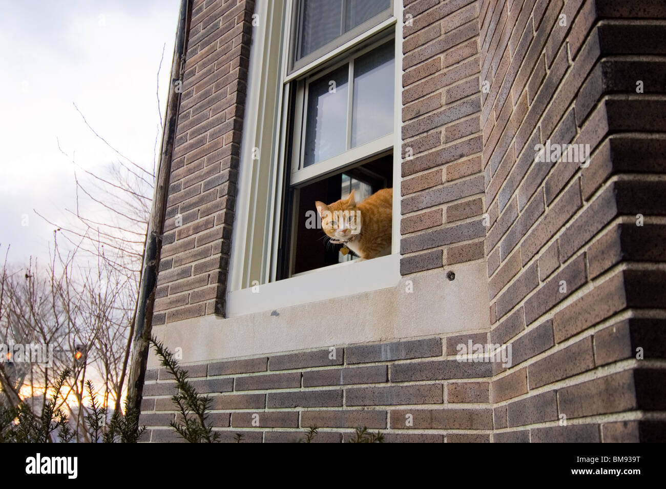 Curious cat sticks its head out the window - Stock Image