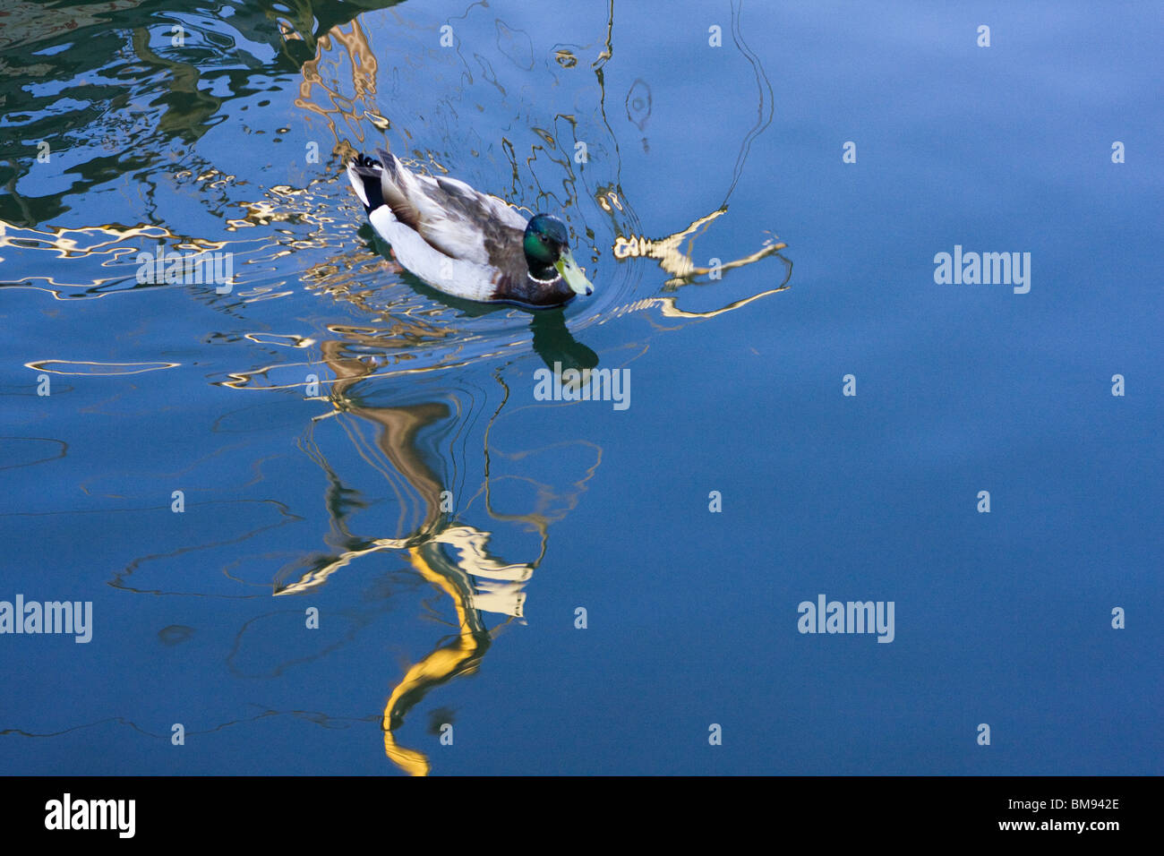 Duck Swimming In Ocean Reflection Shimmer - Stock Image