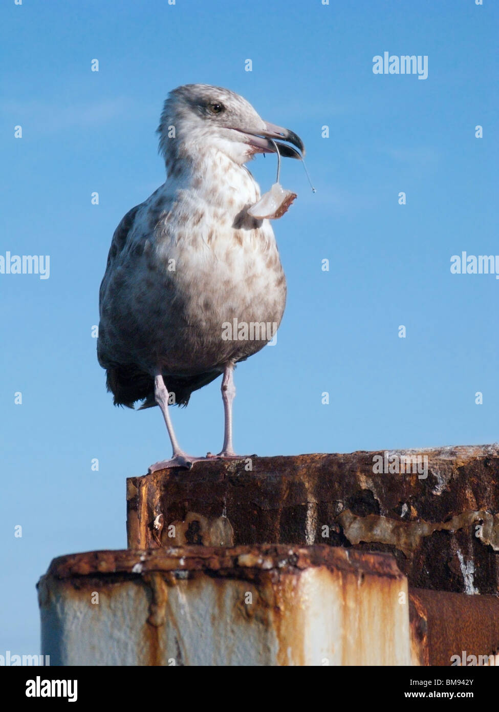 Seagull on Pier with Hook and Bait in Beak - Stock Image