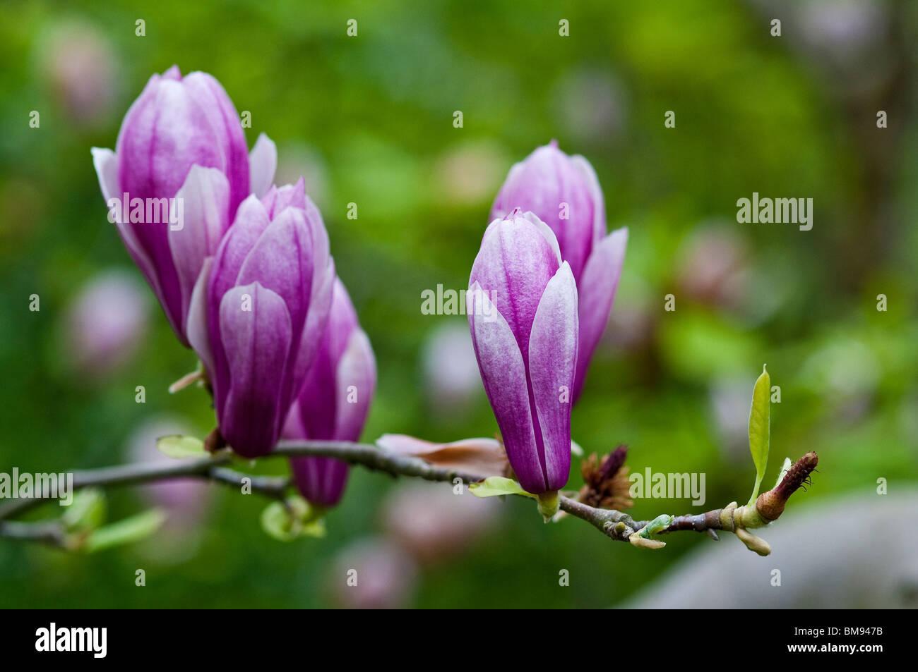Saucer Magnolia | Magnolia x soulangiana - Stock Image