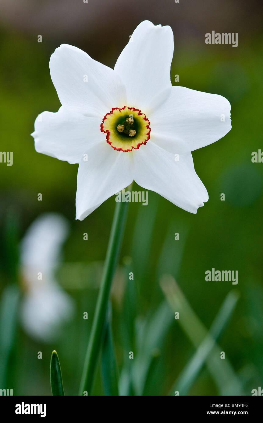 Poets narcissus   Narcissus poeticus - Stock Image