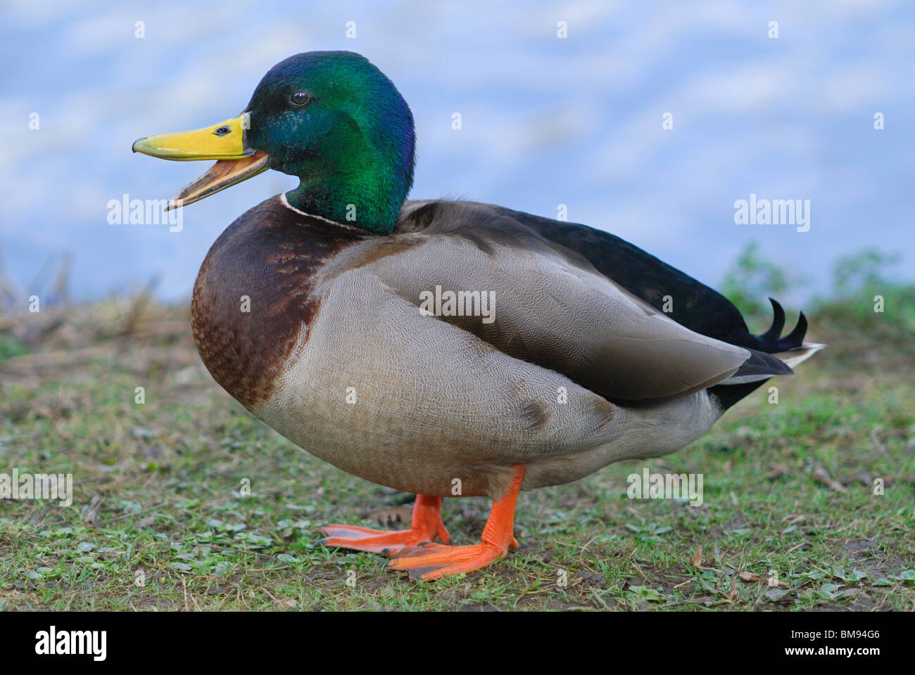 Male Mallard Duck (anas platyrhynchos) calling beside an english pond - Stock Image