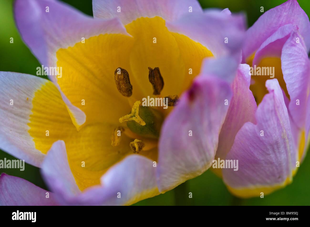Wild Tulip | Tulipa saxatilis - Stock Image