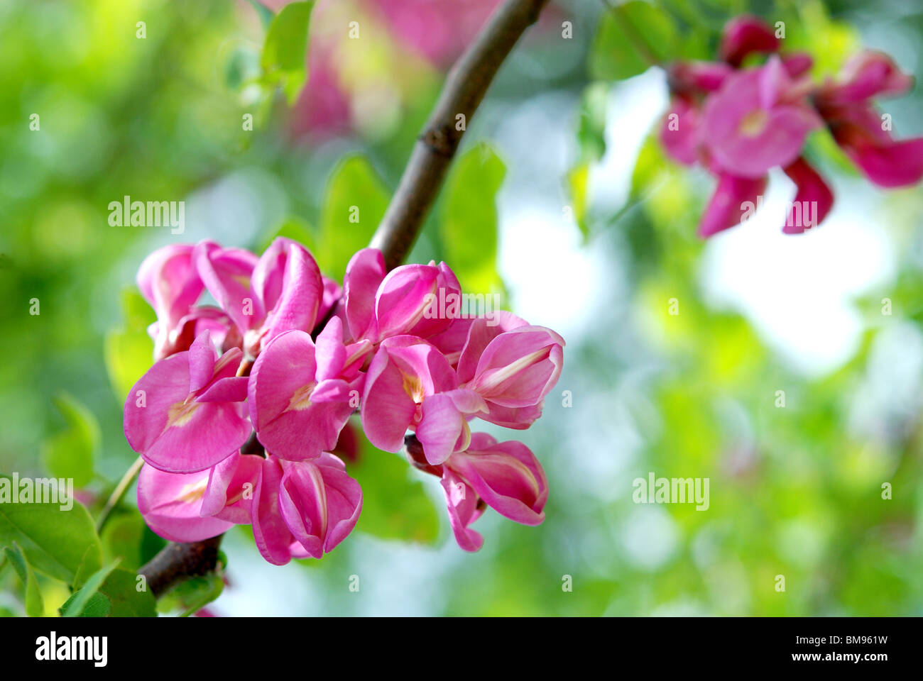 Locust tree branch blooming in the spring stock photo 29705813 alamy locust tree branch blooming in the spring mightylinksfo