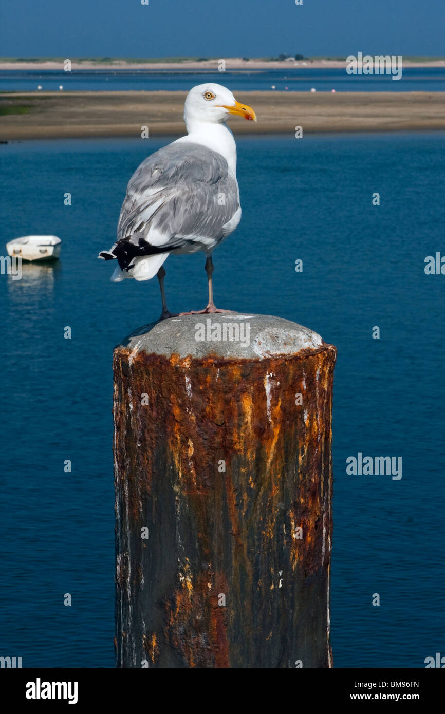 Seagull Standing on Pier at the End of Dock - Stock Image