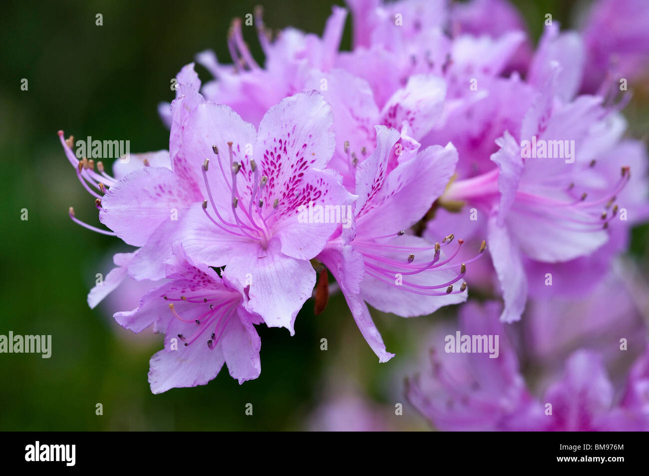 Rhododendron | Rhododendron spec. - Stock Image