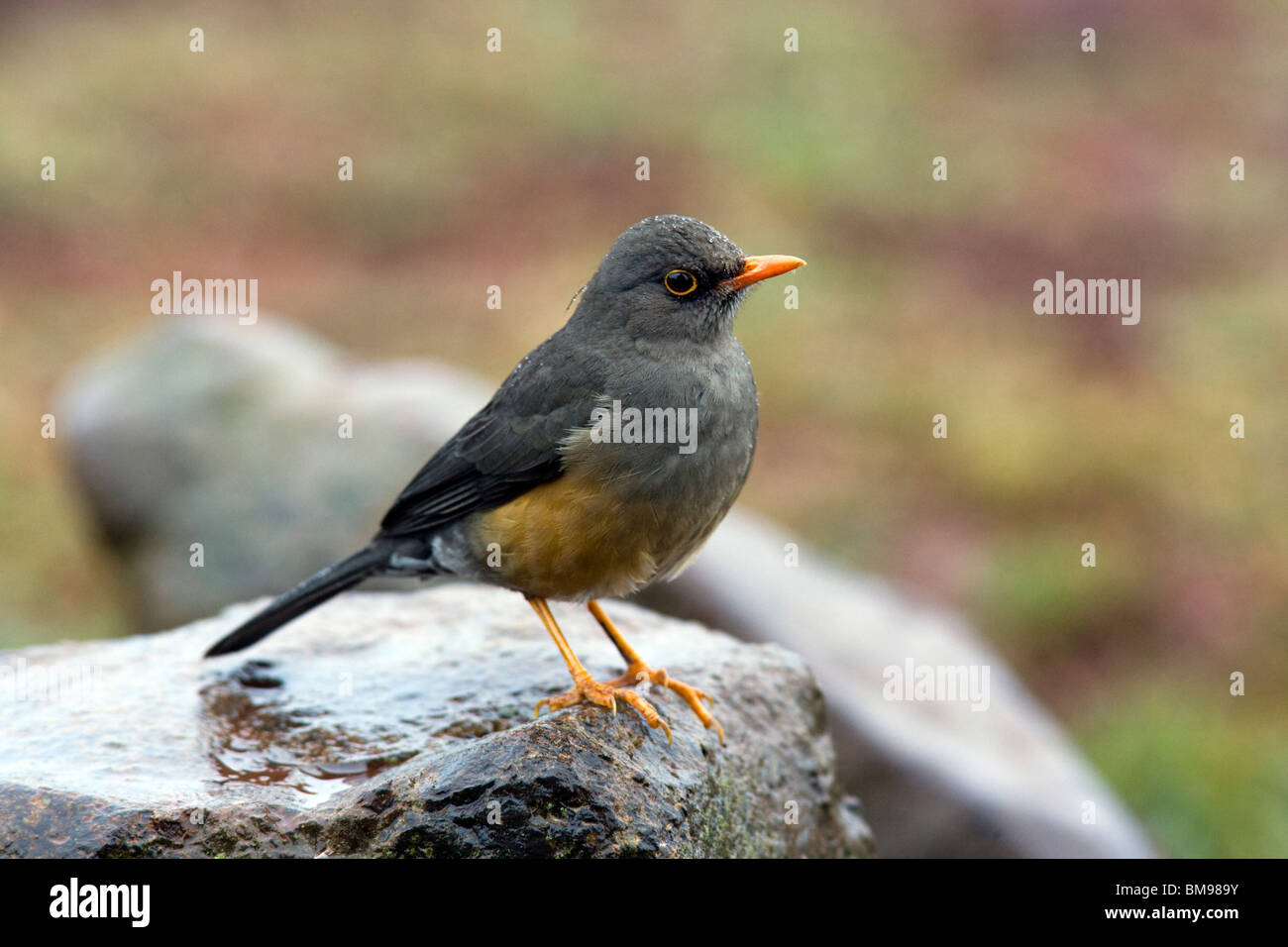 Olive Thrush - Aberdare National Park, Kenya Stock Photo
