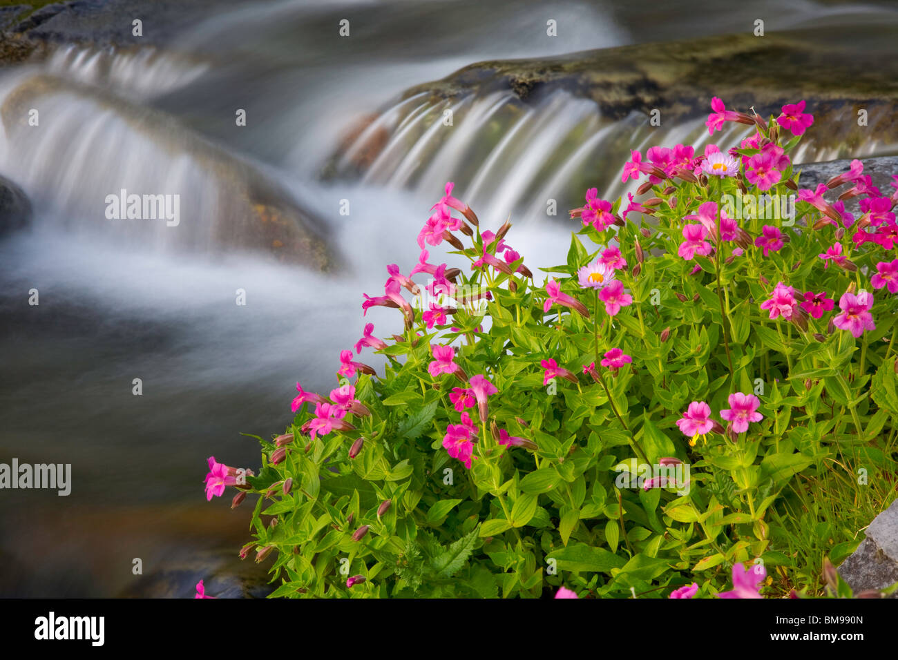 Mount Rainier National Park, WA Lewis' Monkeyflower (Mimulus lewisii) blooming along the Paradise River Stock Photo