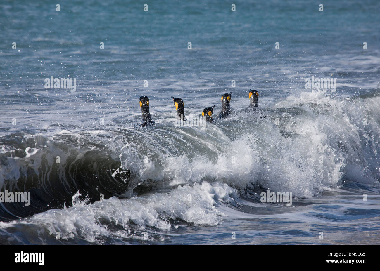 King Penguins Aptenodytes patagonicus yellow heads out of water swimming in line on top of a curling ocean wave - Stock Image