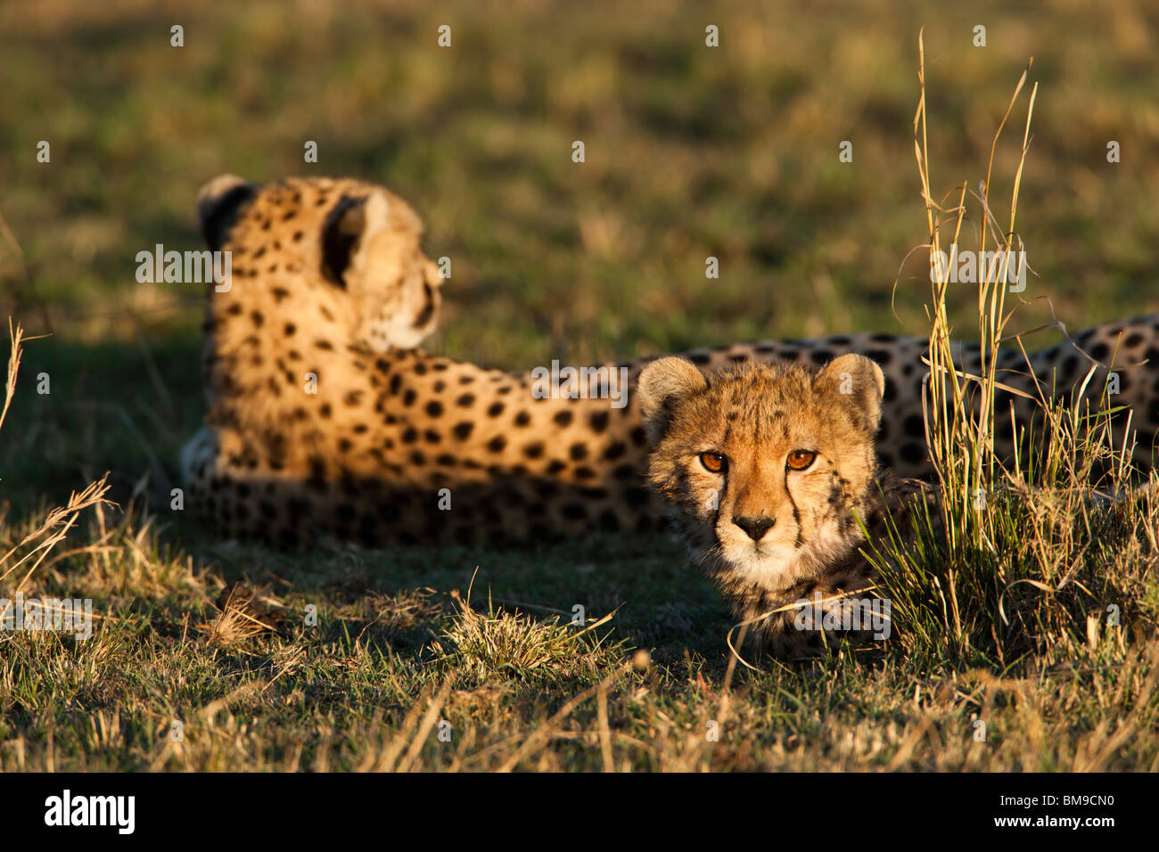 Cheetah cub and mother Acinonyx jubatus Warm sunset light on cute baby animal face lying in green grass savanna - Stock Image