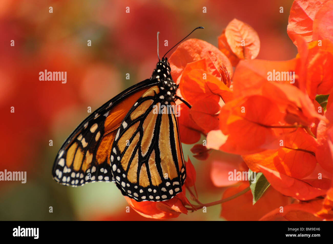 Closeup of the Monarch Butterfly - Stock Image
