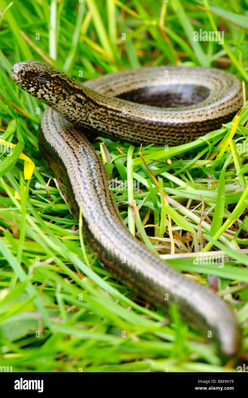 Slow Worm - Anguis fragilis Stock Photo