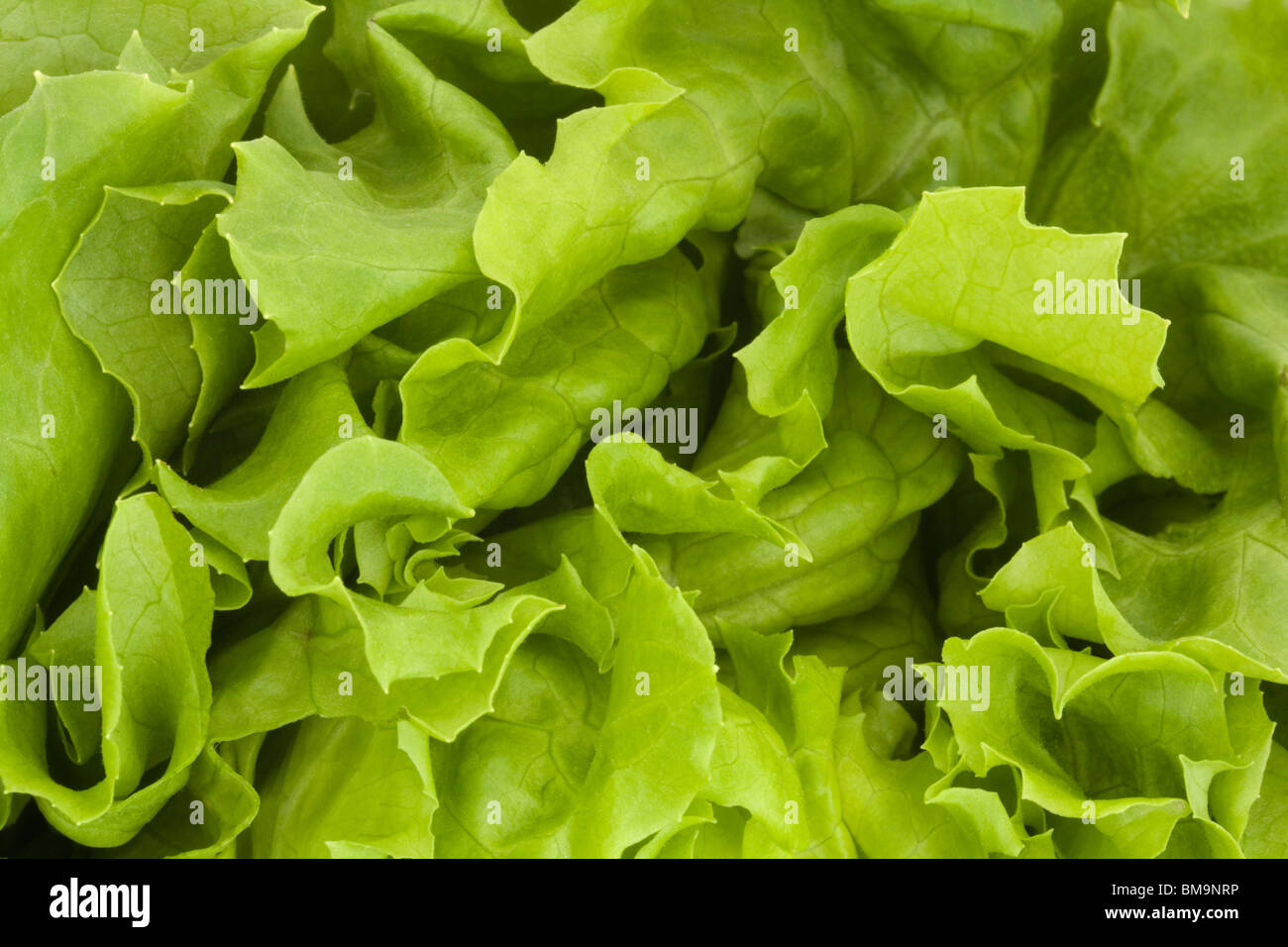 close up of a fresh green lettuce background - Stock Image