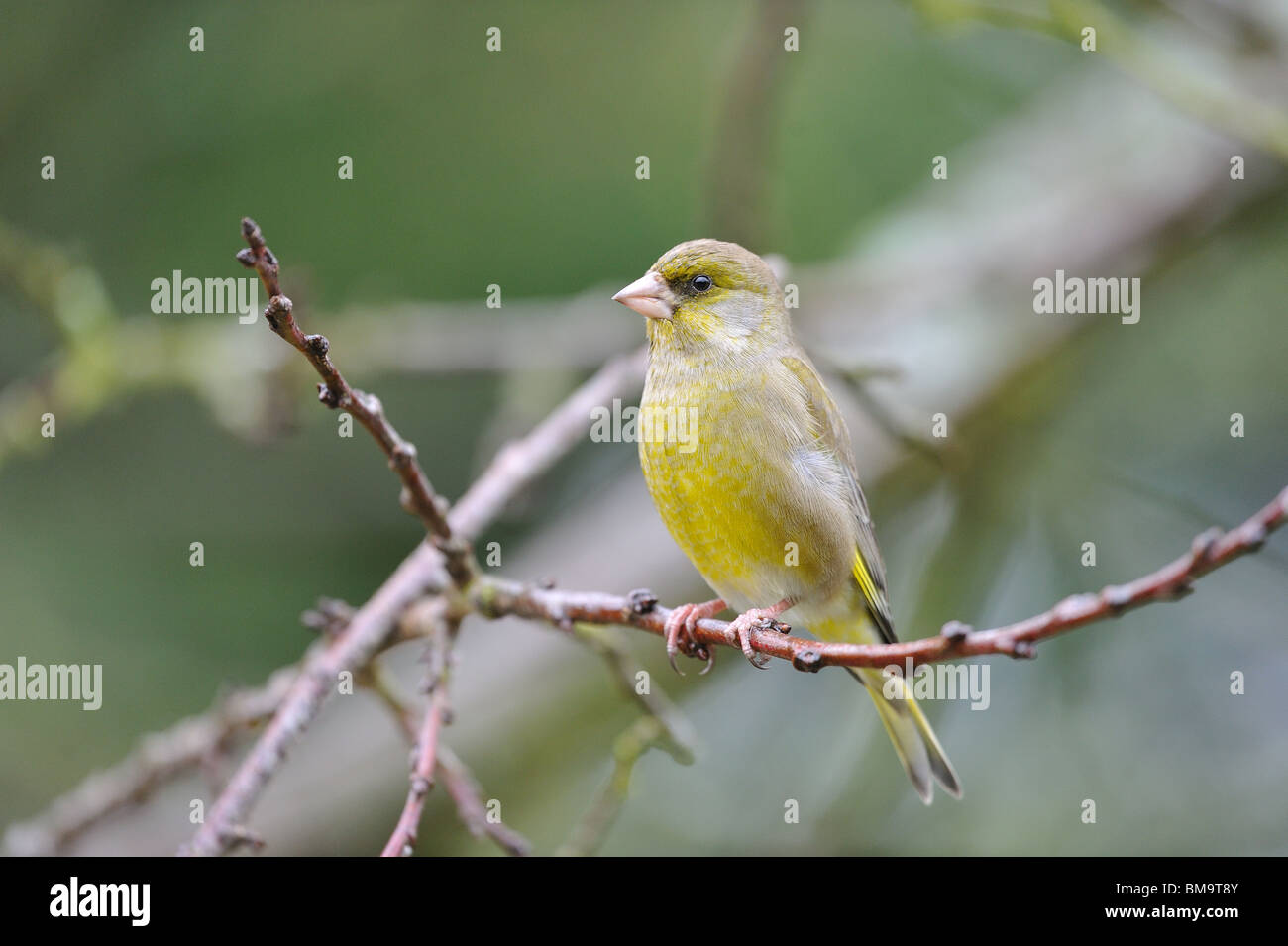 European greenfinch (Carduelis chloris) perched in a tree in winter Stock Photo
