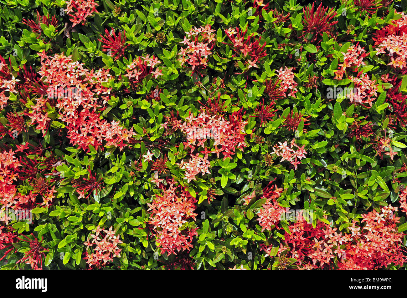 Floral background from small pink flowers - Stock Image